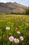 Image of flowers at Fifty Mountain in Glacier.