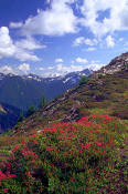 Image of Pink Heather and Glacier Peak, North Cascades