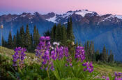 Image of Mount Olympus and lupine flowers.