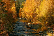 Image of Peshastin Creek and cottonwoods in Fall