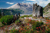 Image of Mount St. Helens above flowers at Norway Pass