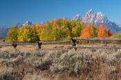 Image of Grand Teton above autumn colors and fence, Grand Teton National Park