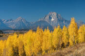 Image of Mount Moran above yellow aspen at Oxbow Bend, Grand Teton National Park