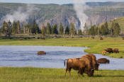 Image of Bison near Firehole River, Yellowstone National Park.