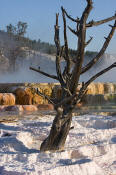 Image of tree in Main Terrace at Mamoth Hot Springs, Yellowstone National Park.
