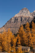 Image of Mount Huber above fall larches, Opabin Plateau